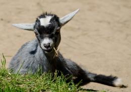 Dwarf Goat